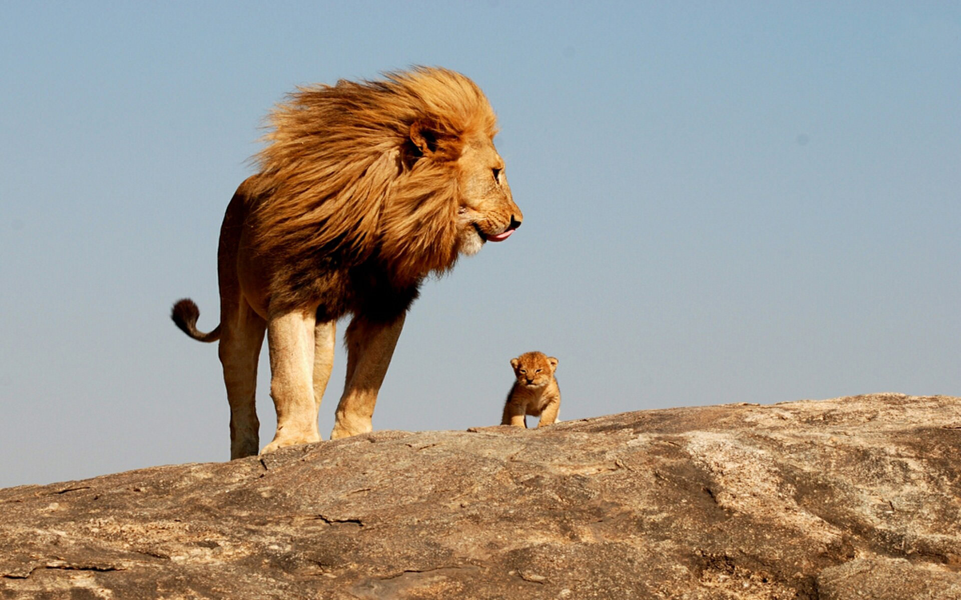 lion king 2 wallpaper mustafa mufasa