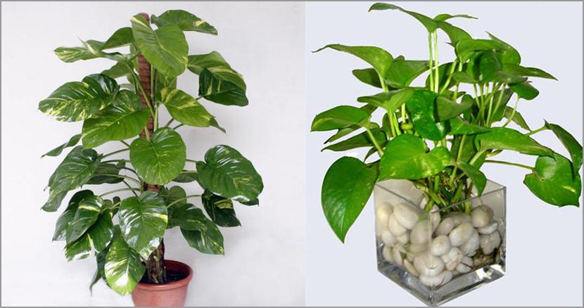 Epipremnum aureum Plants That Purify Indoor Air Quality (Smokers)