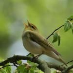530-bird-singing-nature