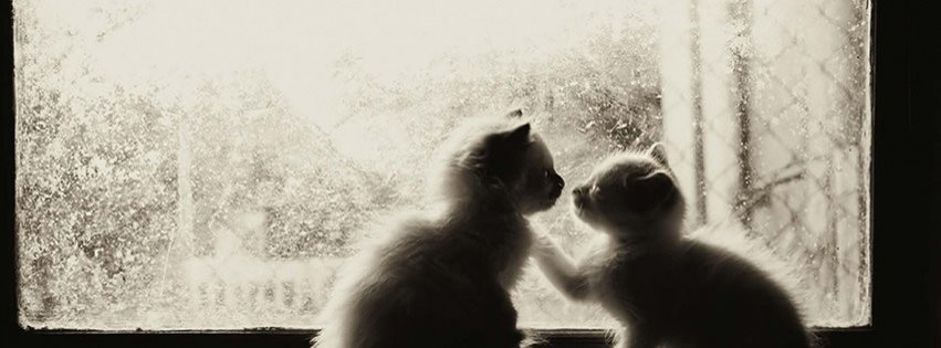 Laperm kittens